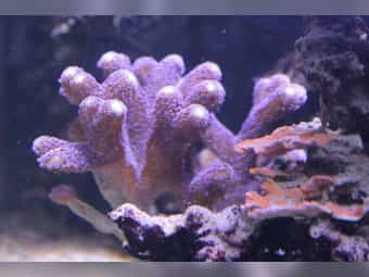 Stylophora pistillata - Milka