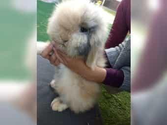 Teddywidder Kaninchen Zwergwidder Zwergkaninchen Widder