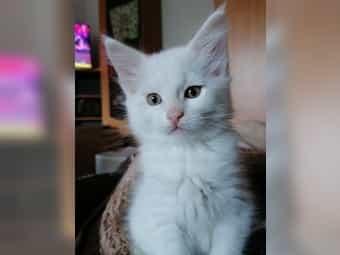 Maine Coon kitten Kater ab