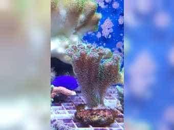 Meerwasser Korallen Korallenableger SPS LPS