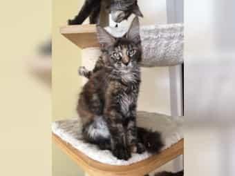 Kräftige Maine Coon Katzenkinder mit