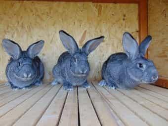 Kaninchen Großchinchilla Häsin Rammler Jungtiere