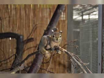 Chinesische Baumstreifenhörnchen in gute Hände