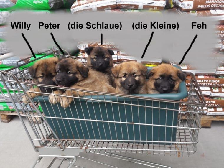 Tiermarkt Hundewelpen