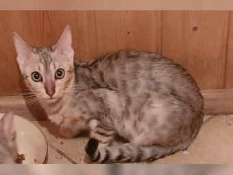 Bengal Katze Kater Kitten