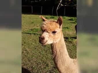 Alpaka-Deckhengst -Sohn von AHL Peruvian
