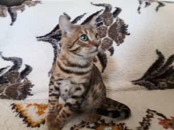 Bengalkatzen suchen liebevolle neue Dosenöffner