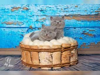 Süsse Reinrassige British Kurzhaar Kitten