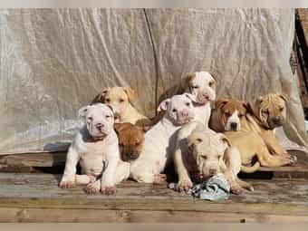 Süße Dogo Bulldog-Mix Welpen