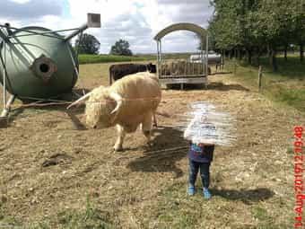 Schottisches Hochlandrind Highland Cattle Bulle