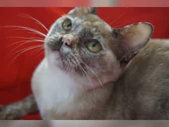 Zauberhafte BURMA-Kastratin Kitten sucht liebevolles