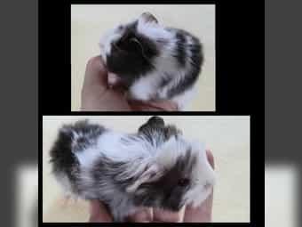 Süßes kuschliges Rasse Mix Meerschweinchen