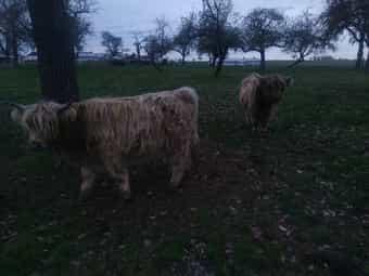 Schottische Hochlandrinder Highland Cattle Highlander