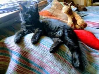 Sibirische Katzen stubenrein gut sozialisiert