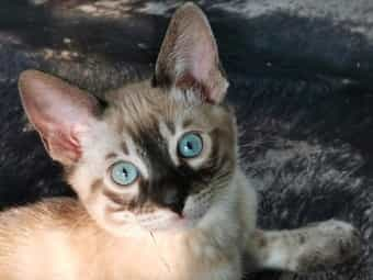 Savannah Kitten F6 Snow Kater