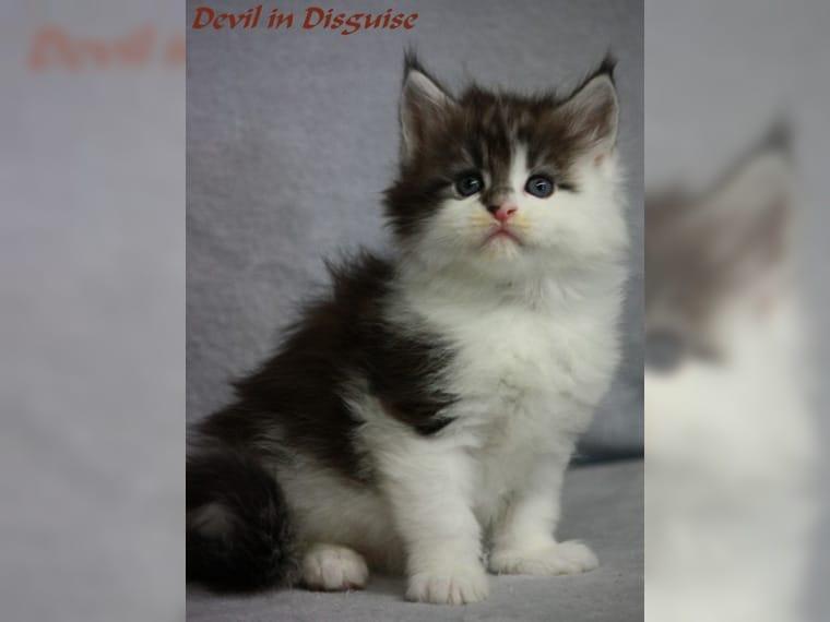 4 Reinrassige Maine Coon Kitten suchen liebevolle Zuhause