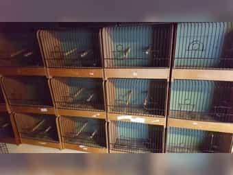 Ausstellungskäfige für Kanarienvögel je 10
