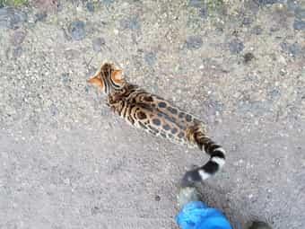 Bengal 1 kater und 1