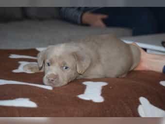 Silbernen Labrador Kleinanzeigen Kaufen Verkaufen Bei Deinetierwelt