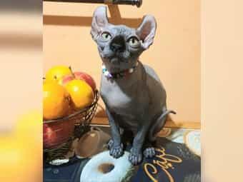 Elf Kitten Sphynx m Stammbaum