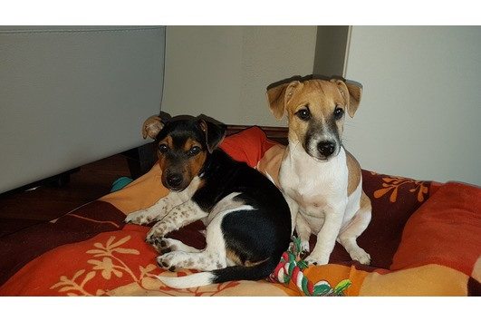 63+ Rat Terrier Chihuahua Mix Blonde - l2sanpiero