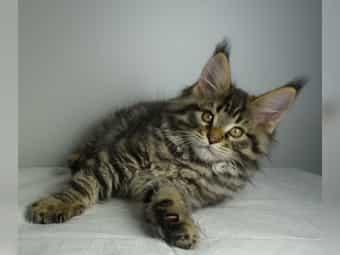 Bildhübscher Maine Coon Kater Kitten