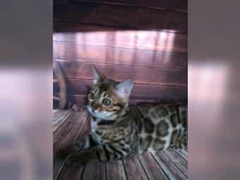 Bengal Kitten mit Stammbaum xxl