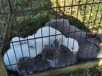 Zwerg Kaninchen Kinder in seltenen