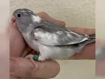 Supersüsse liebe nestjunge Blaugenick Sperlingspapageien