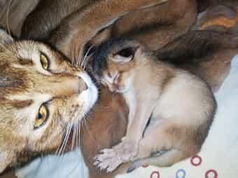 Abessinier Varianten kitten mit Stammbaum