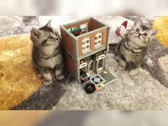 Süße reinrassige BKH-Kitten mit Stammbaum