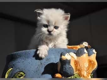 Anti-Stress Katzen BLH