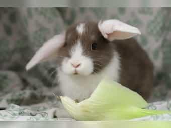 Niedliche Zwergwidder-Kaninchen
