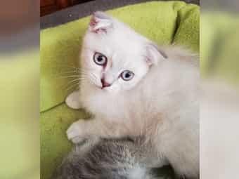 Scottich Fold BKH Kätzchen