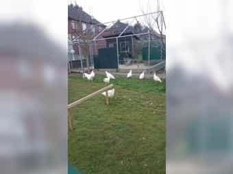 Bruteier vom weißen Ramelsloher Huhn