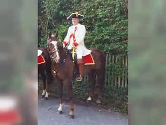 Vielseitiger Wallach Dressurpferd Springpferd Allrounder