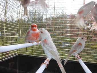 5 Paar Kanarienvögel geb 2019