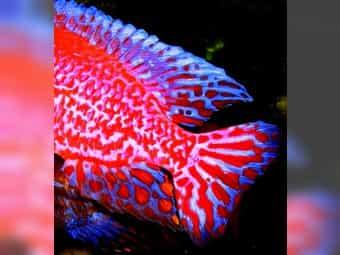 Aulonocara-Firefishe