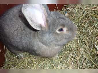 Kaninchen - grauer Wiener - Rexkaninchen - Weibchen -