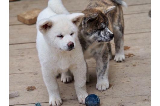 Akita Inu Welpen Im Tiermarkt Von Deinetierwelt
