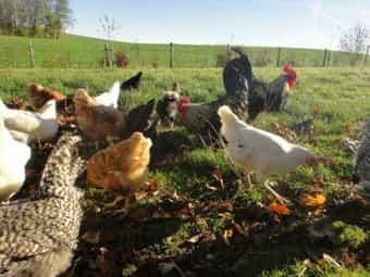 Bio Hühner Hennen und Hähne