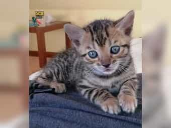 Bengal Kitten ab 10 Mai