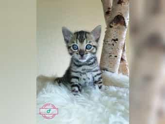Bengal Kitten von LUX Schwachhausen