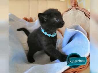 Main Coon Bkh Mix Kitten