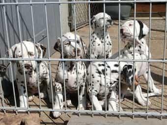 Dalmatiner Welpen Kleinanzeigen Kaufen Verkaufen Bei Deinetierwelt