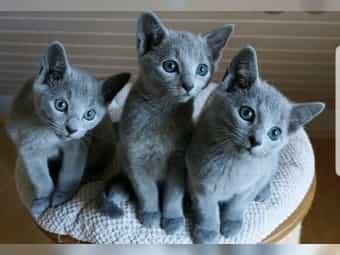 Suchen Russisch Blau Kitten gerne