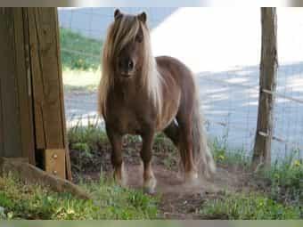 Deckanzeige Dt PB Shetl Pony