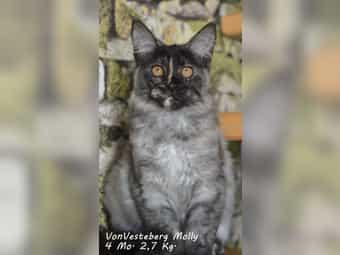 XXL Maine Coon Kitten