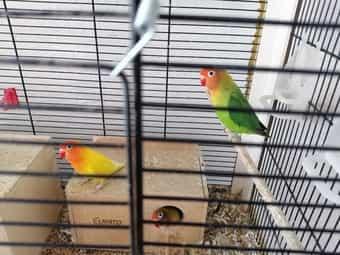 Pfirsichköpfen Vögel