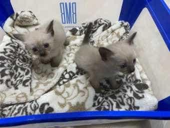 Siam Tabby selten Kitten Katzenbabys